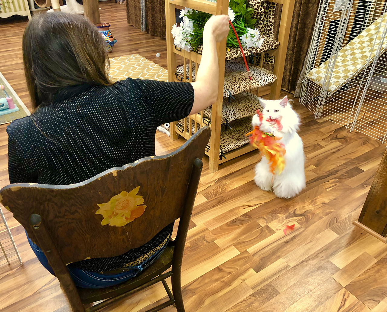 Playing with a White Long Hair Cat