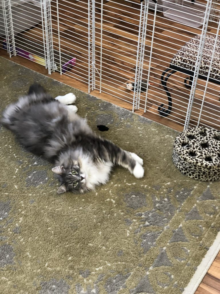 Grey and White Cat Playing